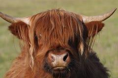 高地的牛 免版税图库摄影