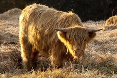 高地的牛 免版税库存图片