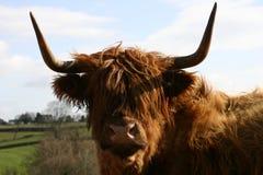 高地的牛 库存照片