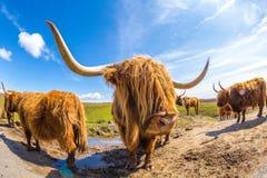 高地红色母牛 免版税库存图片