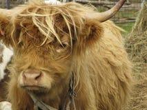 高地红色母牛 库存照片