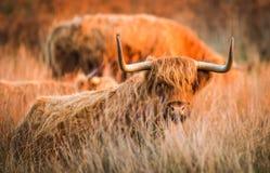 高地红色母牛 免版税图库摄影