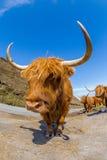 高地红色母牛 免版税库存照片