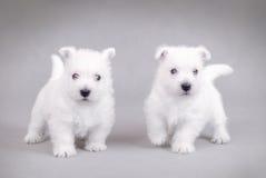 高地西部terrier3白色 库存照片