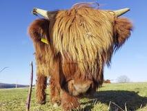 高地cettle小牛调查照相机 图库摄影