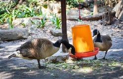 高声谈笑的鹅在农场 免版税库存图片