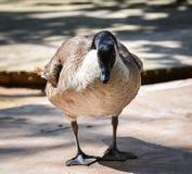 高声谈笑的鹅 免版税库存照片