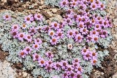 高处野花,喜马拉雅山 免版税库存图片