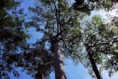 高大的树木冠交错与分支反对清楚的天空 树在一个热带森林里在一好日子 图库摄影