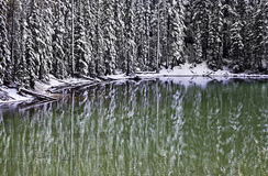 高大的树木冬天样式反射在绿色水中 图库摄影