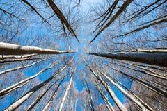 高大的树木向上透视图在蓝天背景的 免版税库存照片