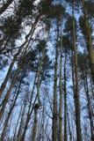 高大的树木和稀薄的树干森林  免版税库存图片