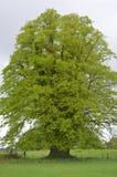 高大的树木在基拉尼国家公园,爱尔兰 库存图片
