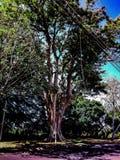 高大的树木大根晴天 免版税库存照片