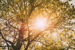 高大的树木晴朗的机盖  阳光在落叶林里,夏天 免版税库存图片