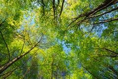 高大的树木晴朗的机盖  阳光在落叶林里,夏天 图库摄影