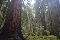高大的树木树干 免版税图库摄影