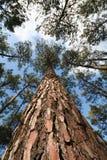 高大的树木树干 库存图片
