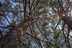 高大的树木特写镜头射击与水平地延伸长的分支的 大鳞状吠声、干燥肢体和词根向上看法  免版税库存图片