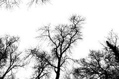 高大的树木的剪影 库存图片