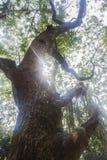 高大的树木耸立 免版税库存照片