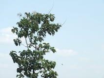 高大的树木,中爪哇省印度尼西亚 免版税库存照片