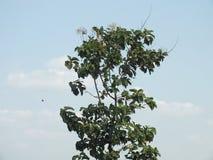 高大的树木,中爪哇省印度尼西亚 免版税库存图片