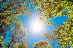 高大的树木晴朗的机盖  在落叶的阳光 免版税图库摄影