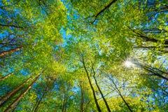 高大的树木晴朗的机盖  在落叶的阳光 免版税库存照片