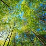 高大的树木晴朗的机盖  阳光在落叶林里,夏天 免版税库存照片