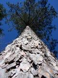 高大的树木 免版税库存照片