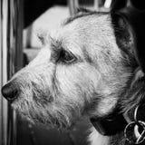 高尚的猎犬 库存照片