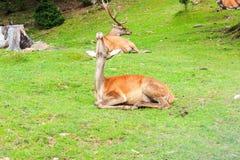 高尚的鹿 免版税库存照片