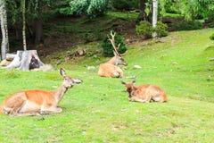 高尚的鹿 库存图片