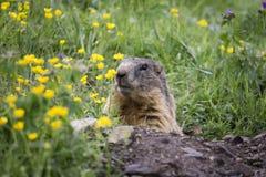 高山土拨鼠在自然环境里 白云岩意大利 库存照片