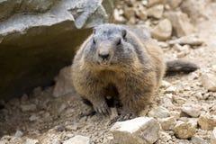 高山土拨鼠,早獭早獭,其中一大啮齿目动物 库存照片