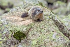 高山土拨鼠& x28; 早獭marmota& x29;在岩石 免版税库存图片