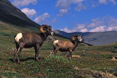 高山大角羊猛撞绵羊 免版税库存图片