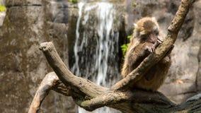 高山族岩石短尾猿坐上面树 免版税库存照片