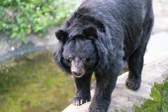 高山族黑熊或熊属类thibetanus看法的formosanus关闭在台湾 免版税库存图片