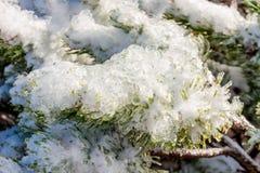 冻高山杉树在冬天 免版税库存照片