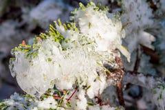 冻高山杉树在冬天 库存照片