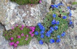高山植物:Eritrichium nanum和Silene acaulis 库存图片