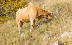 高山母牛在他的牧场地 免版税库存图片