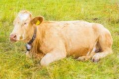 高山母牛在他的牧场地 库存图片