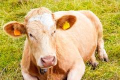 高山母牛在他的牧场地 库存照片