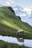 高山母牛 免版税图库摄影