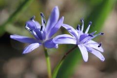 高山海葱或两叶海葱蓝色花 免版税库存照片