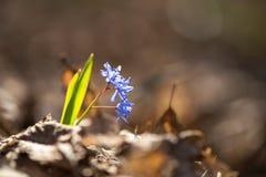 高山海葱或两叶海葱, Scilla bifolia 免版税图库摄影