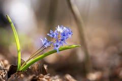 高山海葱或两叶海葱, Scilla bifolia 免版税库存照片